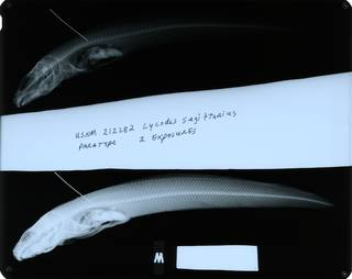 To NMNH Extant Collection (Lycodes sagittarius RAD114430-001)