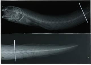 To NMNH Extant Collection (Macrozoarces americanus RAD114483-001)