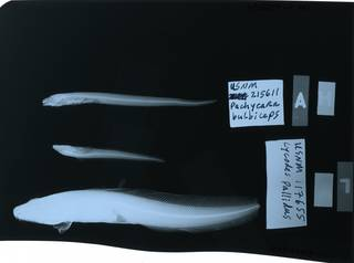 To NMNH Extant Collection (Zoarcidae RAD114413-001and RAD114421-001)
