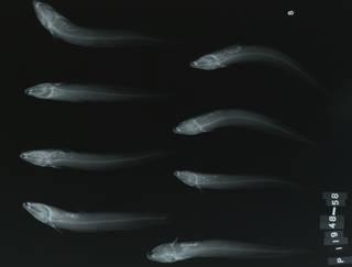 To NMNH Extant Collection (Cnidoglanis macrocephalus RAD115498-001)