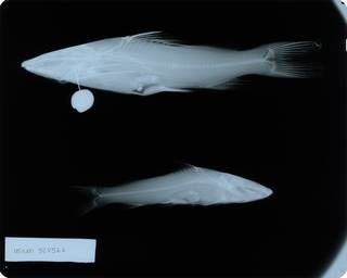 To NMNH Extant Collection (Hemibagrus nemurus RAD115624-002)