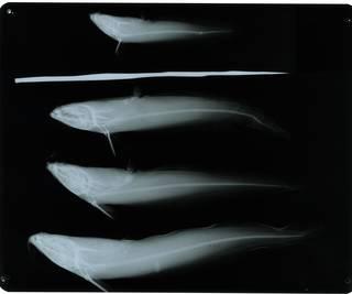 To NMNH Extant Collection (Plotosus canius RAD115651-001)