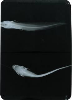 To NMNH Extant Collection (Neoplotosus waterhousii RAD115665-001)