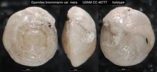 To NMNH Paleobiology Collection (Eponides bronnimanni var. mera USNM CC 46777 holotype)