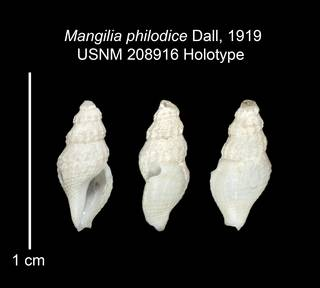 To NMNH Extant Collection (IZ MOL 208916 Holotype Shell plate)