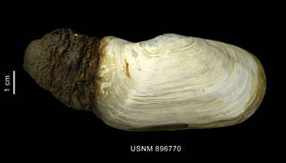 To NMNH Extant Collection (Laternula eliptica (King et Broderip, 1832) shell with siphons)