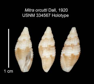 To NMNH Extant Collection (IZ MOL 334567 Holotype Shell plate)