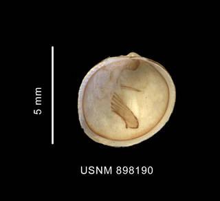 To NMNH Extant Collection (Adacnarca nitens Pelseneer, 1903 left valve inner view)