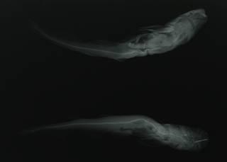 To NMNH Extant Collection (Scylliorhinus indicus RAD110181-001)