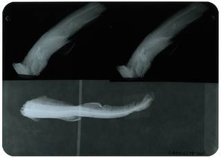 To NMNH Extant Collection (Scyliorhinus sibogae RAD110258-001)