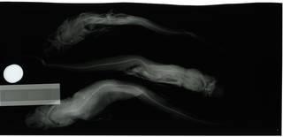 To NMNH Extant Collection (Apristurus riveri RAD110253-002 thru RAD110255-001)