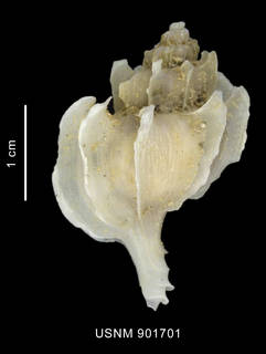 To NMNH Extant Collection (Trophon paucilamellatus Powell, 1951 shell dorsal view)