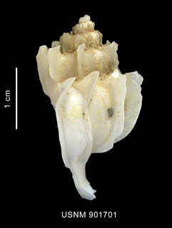 To NMNH Extant Collection (Trophon paucilamellatus Powell, 1951 shell lateral view)