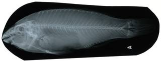 To NMNH Extant Collection (Scarus croicensis RAD112546-001)