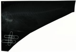 To NMNH Extant Collection (Scarus fasciatus RAD112730-001)