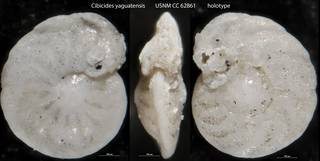 To NMNH Paleobiology Collection (Cibicides yaguatensis USNM CC 62861 holotype)