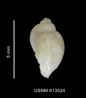 To NMNH Extant Collection (Nothoadmete cf. consobrina (Powell, 1951) shell lateral view)