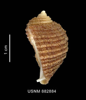 To NMNH Extant Collection (Acanthina monodon (Pallas, 1774) shell lateral view)