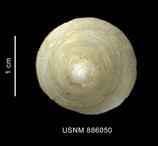To NMNH Extant Collection (Trochita georgiana Powell, 1951 shell apical view)