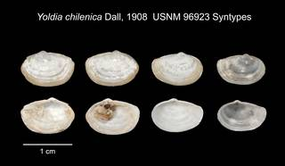 To NMNH Extant Collection (IZ MOL 96923 Bivalve syntypes)
