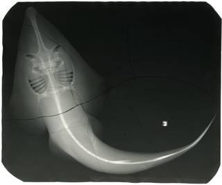 To NMNH Extant Collection (Rhinobatos rhinobatos RAD114553-001)