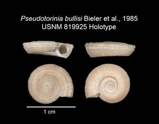 To NMNH Extant Collection (IZ MOL 819925 Holotype Shell plate)