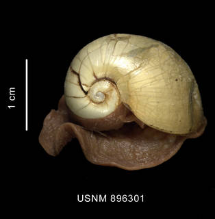 To NMNH Extant Collection (Bulla sp. shell with animal apical view)
