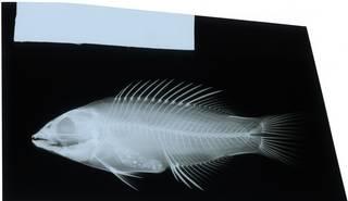 To NMNH Extant Collection (Bodianus bilunulatus RAD116956-001)