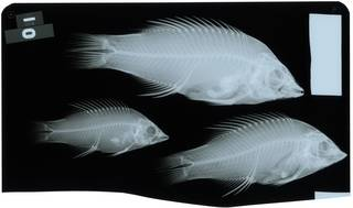 To NMNH Extant Collection (Bodianus mesothorax RAD116984-001)