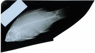 To NMNH Extant Collection (Bodianus perditio RAD116993-001)