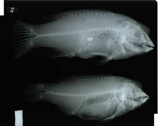 To NMNH Extant Collection (Bodianus eclancheri RAD117065-001)