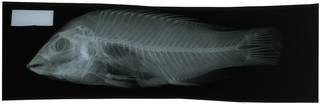 To NMNH Extant Collection (Semicossyphus darwini RAD117087-001)