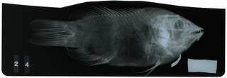 To NMNH Extant Collection (Lepidaplois trotteri RAD117145-001)