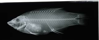 To NMNH Extant Collection (Bodianus diana RAD117181-001)