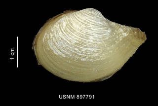 To NMNH Extant Collection (Cuspidaria tenella Smith, 1907 left valve outer view)