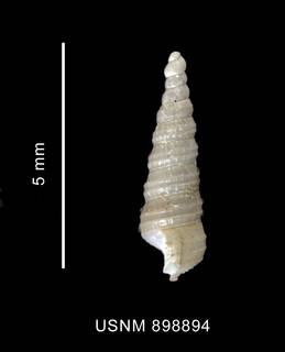 To NMNH Extant Collection (Cerithiella similis Thiele, 1912 shell lateral view)