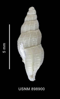 To NMNH Extant Collection (Probuccinum costatum Thiele, 1912 shell lateral view)