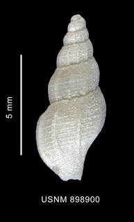 To NMNH Extant Collection (Probuccinum costatum Thiele, 1912 shell dorsal view)