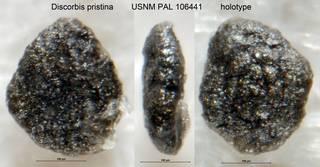 To NMNH Paleobiology Collection (Discorbis pristina USNM PAL 106441 holotype)