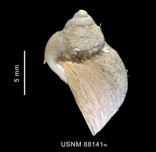 To NMNH Extant Collection (Pelilittorina sp. shell lateral view)