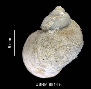 To NMNH Extant Collection (Pelilittorina sp. shell dorsal view)