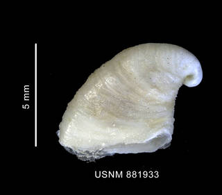 To NMNH Extant Collection (Capulus subcompressus Pelseneer, 1903 shell left lateral view)