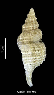 To NMNH Extant Collection (Trophon (Fuegotrophon) pallidus (Broderip, 1832) shell lateral view)