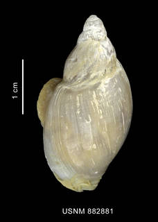 To NMNH Extant Collection (Provocator sp. shell dorsal view)