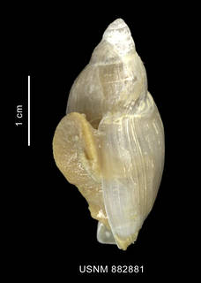 To NMNH Extant Collection (Provocator sp. shell lateral view)