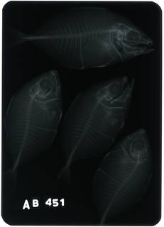 To NMNH Extant Collection (Carangoides equula RAD116245-001)
