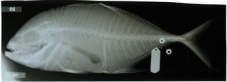 To NMNH Extant Collection (Carangoides fulvoguttatus RAD116273-001)