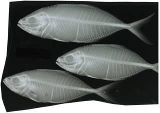 To NMNH Extant Collection (Carangoides praeustus RAD116330-001)