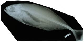 To NMNH Extant Collection (Caranx caballus RAD116365-001)