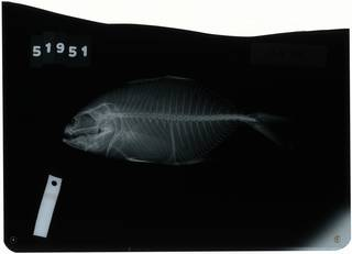To NMNH Extant Collection (Caranx deani RAD116402-001)